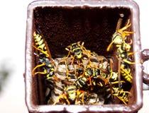 Wasps i bygga bo Royaltyfri Bild