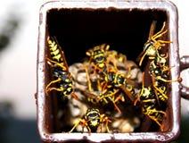 Wasps i bygga bo Royaltyfria Foton