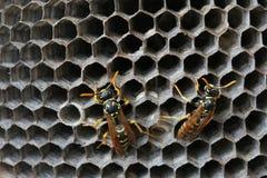 Wasps i bygga bo Royaltyfri Fotografi
