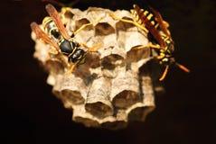 Wasps i bygga bo Royaltyfria Bilder