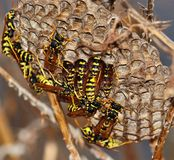 Wasps inside its nest. Group of wasps inside its nest Stock Images
