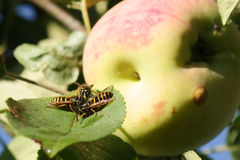 Wasps invasion on the apples harvest Stock Photos