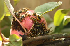 Wasps invasion on the apples harvest Stock Images