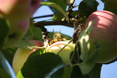 Wasps invasion on the apples harvest Stock Photo