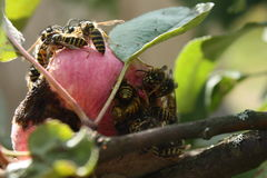 Wasps invasion on the apples harvest Royalty Free Stock Photo