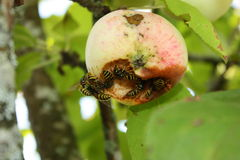 Wasps invasion on the apples harvest Royalty Free Stock Photography