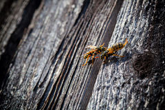 Wasps make a new nest in the wall Royalty Free Stock Photography