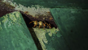 Wasps are male. The wasps are peeking out of the hole. Wasps polist. Stock Image
