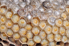 Wasps nest Stock Photo