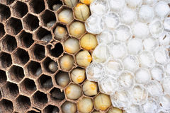 Wasps Nest Royalty Free Stock Photos