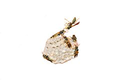 Wasps Nest. Busy wasps working on their nest on a white background stock photo