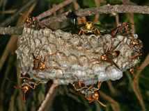 Wasps Nest... Several paper wasps on a nest, eggs shown Royalty Free Stock Images