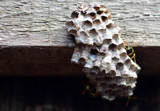 Wasps on nest Stock Photography