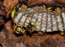 Wasps on the nest Royalty Free Stock Photos