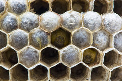 Wasps nest. The nest with larva. Macro Royalty Free Stock Images