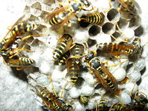 The wasps Royalty Free Stock Photo