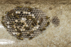 Wasps. A nest of wasps under the protrusion of a roof Royalty Free Stock Photos