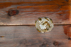 Wasps' nest under a wooden roof stock image