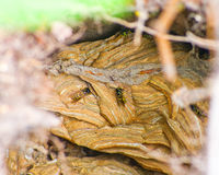 Wasps nest Royalty Free Stock Images