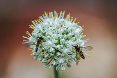 Wasps on onion Plant Royalty Free Stock Image