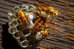 Wasps på en bygga bo Arkivfoton