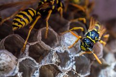 Wasps paper nest wood pulp hive with wasps Vespula yellow black coloration macro royalty free stock image