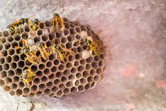 Wasps paper nest wood pulp with wasps Vespula yellow black warning coloration stock photography