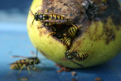 Wasps on a pear. Wasps in and on a pear putrefied royalty free stock photos