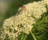 Wasps Stock Photo