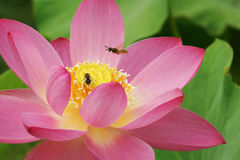 Wasps on Pink Lotus Flower. Yellow jackets or wasps on a pink lotus flower Royalty Free Stock Photos