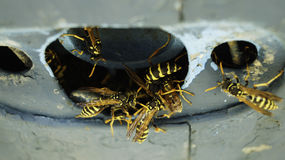 Wasps in plane Royalty Free Stock Photography