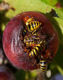 Wasps in a plum Stock Images