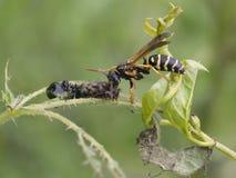 Wasps - Polistes biglumis Stock Images