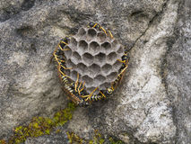Wasps - Polistes biglumis Stock Photo