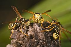 Wasps (Polistes bischoff) Stock Photography