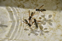 Wasps Polistes drink water Stock Photos
