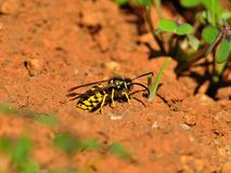 Wasps on the soil around the nest Stock Photography