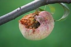 Wasps som äter äpplet på treen Royaltyfri Foto