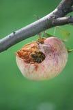 Wasps som äter äpplet på treen Arkivbild