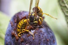 Wasps som äter en plommon Arkivfoto