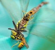 Wasps som äter en slända II Royaltyfria Foton