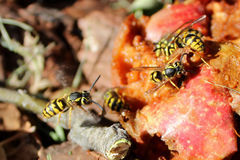 Wasps Swarming a Rotting Apple Stock Photography
