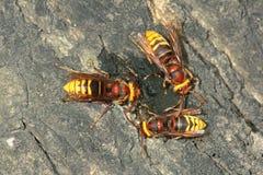 Wasps Royalty Free Stock Image