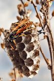 Paper wasp builds a nest Vespidae. stock photos