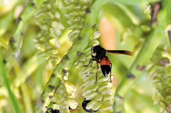 Wasps or Vespa affinis Stock Photography