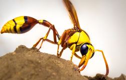 Wasps Stock Photo