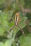Waspspindel - Argiopebruennichi Arkivfoto