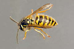 Waspy royalty free stock image