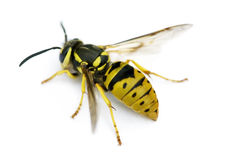 waspyellowjacket Arkivbild