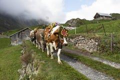 Wassen, die Schweiz, am 15. September 2018: Zeremoniell, das unten vom Vieh fährt lizenzfreie stockfotografie